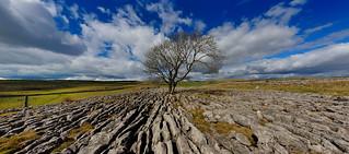The Malham tree