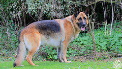JUST HAD SHAMPOO & CONDITIONER BLOWDRY (rexcharlespiles) Tags: dogs alsatian husky
