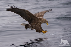 White Tailed Eagle (fascinationwildlife) Tags: animal bird predator prey hunt strike catch sea ocean wild wildlife winter nature natur japan asia hokkaido north northern seeadler adler white tailed eagle wings talons vogel raptor raubvogel