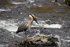 Nearly there! (Karen Warren1) Tags: heron salmon fish bird eastlynriver river exmoor watersmeet walk1000miles walk1000miles2017 worldinneedwalkersimplesitecom