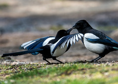 Feed Me!! (muppet1970) Tags: magpie behaviour feeding courtship blackandwhite pied spring nature wildlife christchurchpark