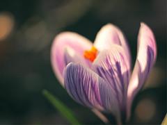2017-03-16_18-17-42 (torstenbehrens) Tags: flower nature bokeh olympus ep1 digital camera