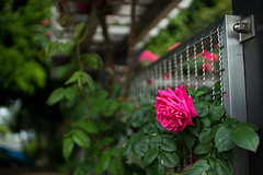 Aloof (Arbit Bamboo0101) Tags: rose spring color asia sigma nature flower garden canoneos flora digital pink 30mm 30mmf14 hsm dc art flowers japan osaka kissx7 april 30mmf14hsmdcart