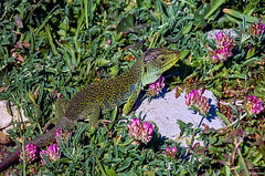 Amigo lagarto... (Leo ☮) Tags: lagarto lizard ocelado reptiles animal naturaleza nature flores flowers hierba grass campo silvestre primavera spring abril april luz color acoruña galiza