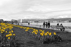 Spring in Geneva (JBGenève) Tags: suisse switzerland genève geneva ville city printemps spring fleurs flowers extérieur outside noiretblanc blackandwhite lac lake jetdeau rivage shore walkway jonquilles jonquils