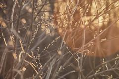 Warm Fuzzies (flashfix) Tags: april132017 2017inphotos ottawa ontario canada canon canoneos5dmarkii 5dmarkii 100mm400mm plant tree fuzzy flare spring nature bokeh mothernature marsh