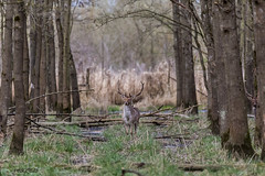 4D3A7806 (marcwalter1501) Tags: damadama daim forêts animaux selestat illwald 5dmk4 canon cervidé