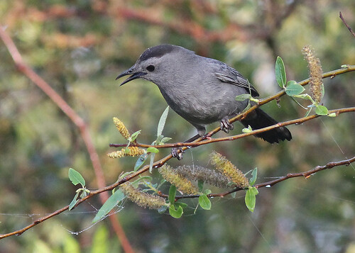 Gray Catbird (Dumetella carolinensis) in Carolina Willow (Salix caroliniana)