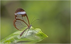Glasswing Butterfly (cconnor124) Tags: glasswingbutterfly butterflies exoticbutterflies insectmacro flyinginsects insectphotography canon100mmmacrolens macrophotography canon760d naturephotography