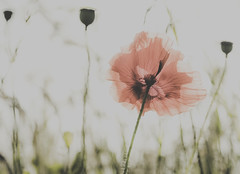 Translucent (Ber123) Tags: flower poppy seedpods blowing breeze translucent translucence beauty art artistic nature outdoors colour wildlife delicate cornfield summer