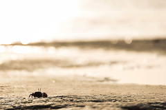 Light-flooded (patrickdunse) Tags: 6d 70300mm animal beach bokeh canon canon6d canoneos6d coast crab eos egypt fiddlercrab gold krabbe krebs küste marsaalam meer natur nature ocean redsea rotesmeer sea sonne sonnenaufgang sun sunrise tamron tamronaf70300mm456dispvcusd tele telelens teleobjektiv tier wasser water winkerkrabbe ägypten