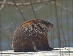 Posing Groundhog (Vidterry) Tags: groundhog woodchuck cedarriver