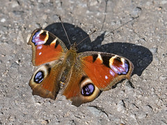 Peacock butterfly (sivaD nhoJ) Tags: peacockbutterfly nymphalidae nymphalisio butterfly insect invertebrate arthropod lepidoptera animal 2017