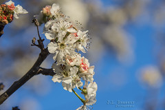Bradford Pear Blossoms - Tennessee Spring (J.L. Ramsaur Photography) Tags: jlrphotography nikond7200 nikon d7200 photography photo cookevilletn middletennessee putnamcounty tennessee 2017 engineerswithcameras cumberlandplateau photographyforgod thesouth southernphotography screamofthephotographer ibeauty jlramsaurphotography photograph pic cookevegas cookeville tennesseephotographer cookevilletennessee bluesky deepbluesky nature outdoors macro macrophotography closeupphotography closeup dof depthoffield bokeh landscape southernlandscape god'sartwork nature'spaintbrush rural ruralamerica ruraltennessee ruralview bradfordpear bradfordpearblossoms flowers flower whiteflower pinkflower spring springtime springisintheair blossoms blossom blooms