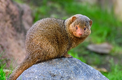 Common dwarf mongoose (FotoGrazio) Tags: africa african animals commondwarfmongoose herpestidae mongoose waynegrazio waynesgrazio zoo animal carnivore carnivorous claws cobrakiller critter fotograzio fur mammal nature pinknose rodent selectivefocus smallears smalleyes tail wildlife