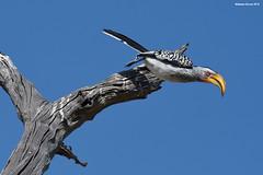 Yellow-Billed Hornbill (naturalturn) Tags: fly hornbill yellowbilledhornbill savanna tree savuti chobe chobenationalpark botswana image:rating=5 image:id=205554