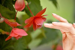 Desire To Touch (swong95765) Tags: bloomed flower begonia bokeh delicate fragile pretty touch touching desire beautiful lovely