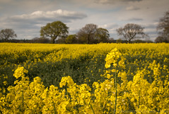 fields of gold 02 apr 17 (Shaun the grime lover) Tags: farm flower landscape spring tree oilseedrape canola field cheshire hatton daresbury morphanylane rapeseed