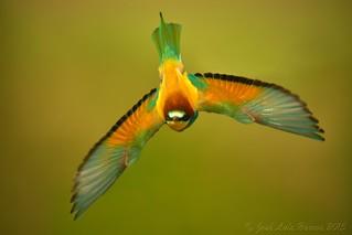 Abelharuco | Merops apiaster | Bee eater