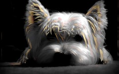 Sunny (eigi11) Tags: westie west highland terrier hss