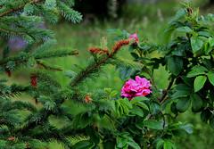 Fir and rose (Linnea from Sweden) Tags: canon eos 1100d efs 55250mm f456 is ii fir rose garden plant nature green summer tree