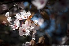 Wild plum flowers (Zoran Babich) Tags: zagreb cityofzagreb croatia plumflower flower plum raindrops macro