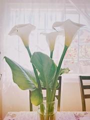 Homegrown Calla Lilies  #homegrown #callalily (ThuGiang Le) Tags: homegrown callalily