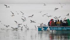 Blue Boat Birds (peterkelly) Tags: digital canon 6d india asia varanasi gangesriver river water gulls gull birds bird blackheadedgull flock boat wooden blue gadventures essentialindia