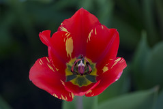 tulip (Camy487) Tags: flower nature garden green red yellow leaves spring romania nikon d3100