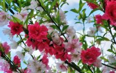 * Meraviglia di un albero #2  *  Wonder of a tree #2  * (argia world 1) Tags: albero alberoornamentale giardino fioritura primavera tree ornamentaltree garden blossom springtime colours colori
