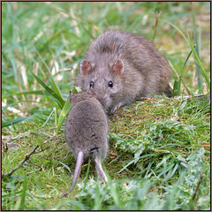 Brown Rat (image 1 of 2) (Full Moon Images) Tags: wicken fen nt national trust wildlife nature reserve cambridgeshire animal mammal brown rat rodent