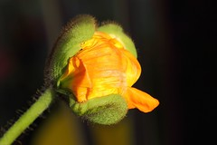 Effrontée ! / Shameless! (alainragache) Tags: macro texture flower fleur orange couleur color pavot poppy jardin garden canon sigma closup 600d printemps spring primavera frühling greatphotographers