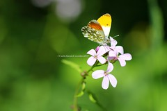 . (CarloAlessioCozzolino) Tags: farfalla butterfly insetto insect bug macro fiore flower monza monzaebrianza parcodimonza verde green bokeh