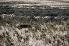Alpha (joshhansenmillenium) Tags: nikon photography d5500 hiking adventure nature utah salt lake city antelope island sunset moon animals coyotes buffalo bison mountains tamron 18200mm frary peak great