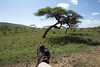 Tree Lions - Traveling Boot Shot (virtualwayfarer) Tags: serengeti serengetinationalpark nationalpark lion lions lioness lioncub tree treelion bigcats wild wildanimals nature acacia unusual africansafari treeclimbinglions peride lionpride plains africa african canon canon6d easternafrica tourism tour travel travelphotography park predator feline wildlife tanzanian climbing east cub bigcat family bluesky bigsky travelingboots boot boots shoe shoes spiritoftravel adventuretravel lifestyle inspiration alexberger virtualwayfarer travelinspiration natgeoinspired unusualanimals