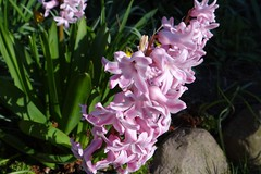 pink (Gartenzauber) Tags: floralfantasy doublefantasy
