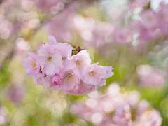 Sakura Bavariae (5) (Karsten Gieselmann) Tags: baum blüten bokeh bäume dof domiplan50mmf28 em5markii farbe frühling grün jahreszeiten kirschblüte microfourthirds natur olympus pflanzen rosa schärfentiefe sonne vintagelens wetter color green kgiesel m43 mft nature pink seasons spring sun tree trees weather