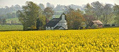 WHITE HOUSE BY THE YELLOW FEILD (chris .p) Tags: ashfordcarbonel shropshire england nikon d610 view house capture field spring 2017 uk april countryside landscape rapeseed yellow tree trees