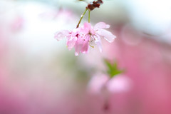 rain blossoms (Tomo M) Tags: 御殿場桜 cherryblossoms flower petal droplets waterdroplets raindrop rain spring nature japan pink bokeh pentacon50mmf18