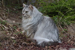 Auf dem Beobachtungsposten (Vasquezz) Tags: katze cat sibirischekatze sibirische sibirisch siberiancat siberian waldkatze forestcat сибирская кошка сибирскаякошка fussel cat500