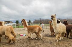medina-7710 (FarFlungTravels) Tags: alpaca animal farm medinacounty onefineday shear wool