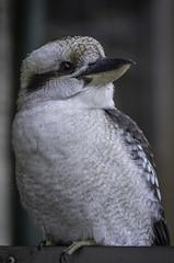 44/100: Kookaburra (judi may) Tags: kookaburra bird handsome alfrednicholasmemorialgardens dandenongs awonderfuldayout canon7d wildlife feathers beak 100xthe2017edition 100x2017 image44100