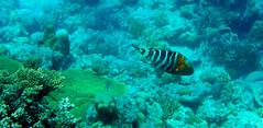Donzella (Landersz) Tags: philippines filippine coron palawan club paradise snorkeling turtle shark clownfish nemo dugong landersz canon 5dmk3 nimar gopro hero5