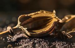 Poppy -Seeds (blancobello) Tags: mohnsamen poppyseeds macromonays seeds samen mohnkapsel macro light klatschmohn canon 100mm