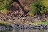 Tiger Crossing (fascinationwildlife) Tags: animal mammal tiger cat bengal big predator wild wildlife nature natur national park india asia forest lake water tree endangered species ranthambhore