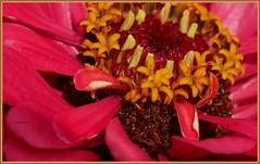 Rote Schönheit - Red Flower (Karabelso) Tags: red yellow flower blossom macro rot gelb blume blüte makro panasonic lumix gx7