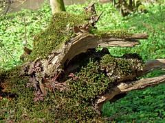 Natur-Skulptur (onnola) Tags: koblenz rheinlandpfalz deutschland rhinelandpalatinate germany arzheimerwald wintersborn wald forest totholz moos moss