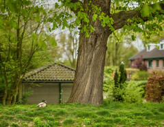 Eend en boom (sylvia@flikkert) Tags: bokehpanorama eend duck boom tree nederland thenetherlands