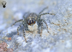ARAÑA SALTARINA 05 (JuanMa-Zafra) Tags: araña arácnidos menemerus semilimbatus macro d7100 105mm reflector difusor flas sb800 zafra extremadura