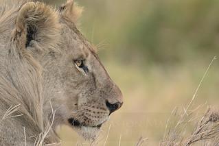 Leon cachorro (Lion Cub) - Serengeti NP - Tanzania